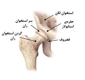 بخشهای مختلف مفصل ران